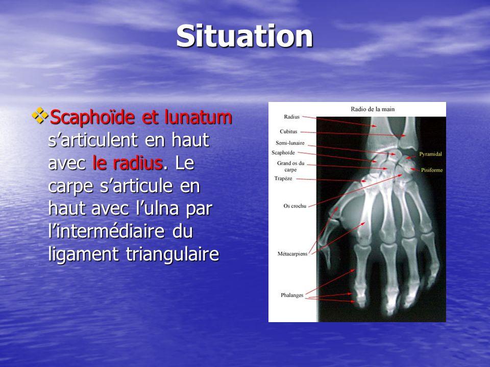 Situation Scaphoïde et lunatum sarticulent en haut avec le radius. Le carpe sarticule en haut avec lulna par lintermédiaire du ligament triangulaire S