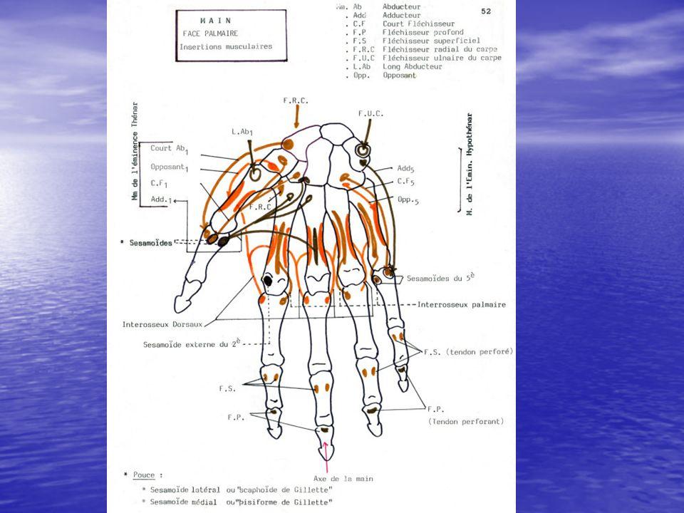 Repères palpables Le scaphoïde dans le fond de la tabatière anatomique.