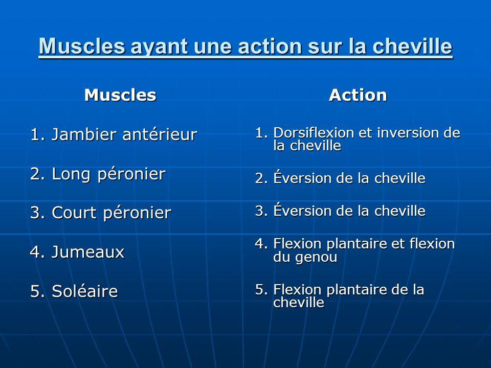 Muscles ayant une action sur la cheville Muscles 1. Jambier antérieur 2. Long péronier 3. Court péronier 4. Jumeaux 5. Soléaire Action 1. Dorsiflexion