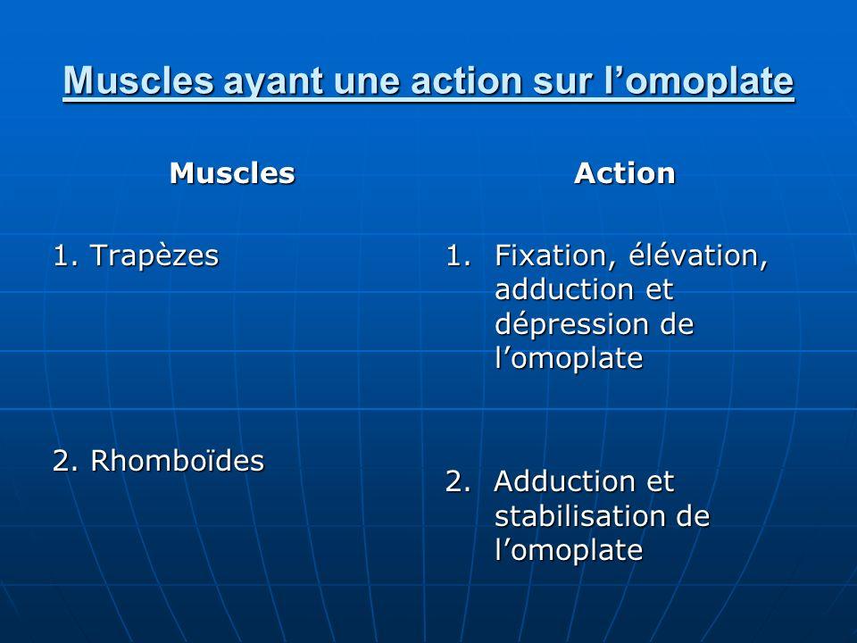 Muscles ayant une action sur lomoplate Muscles 1. Trapèzes 2. Rhomboïdes Action 1.Fixation, élévation, adduction et dépression de lomoplate 2. Adducti