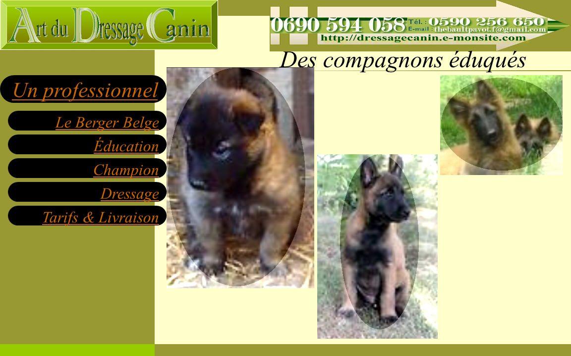 Éducation Champion Dressage Tarifs & Livraison Le Berger Belge Un professionnel Notre dernier Champion en titre www.dressagecanin971b.e-monsite.com