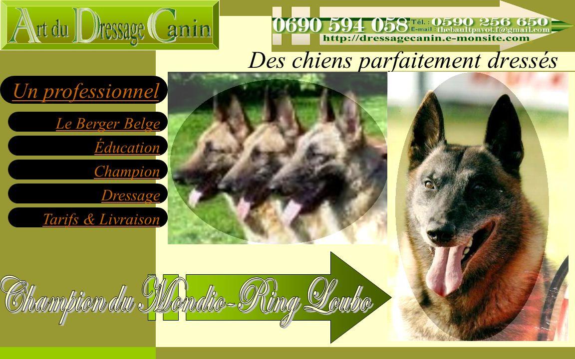 Éducation Champion Dressage Tarifs & Livraison Le Berger Belge Un professionnel Des chiens parfaitement dressés