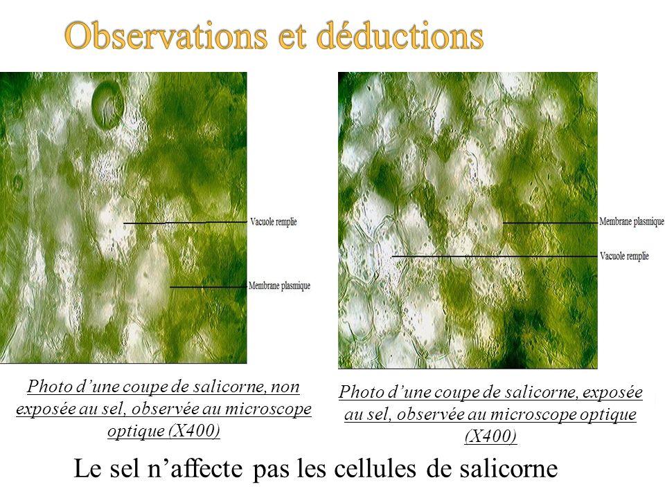 Le sel naffecte pas les cellules de salicorne Photo dune coupe de salicorne, non exposée au sel, observée au microscope optique (X400) Photo dune coup