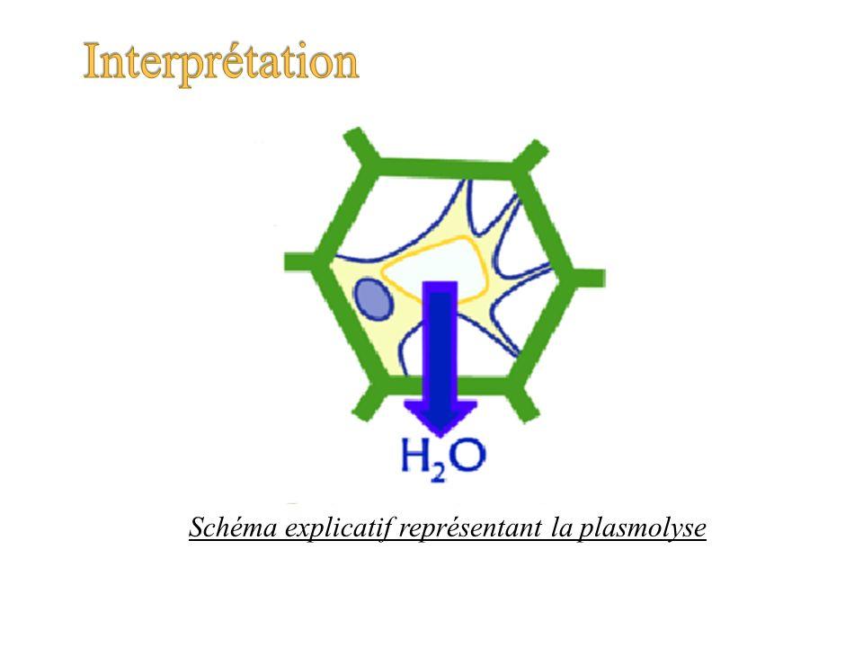 Schéma explicatif représentant la plasmolyse