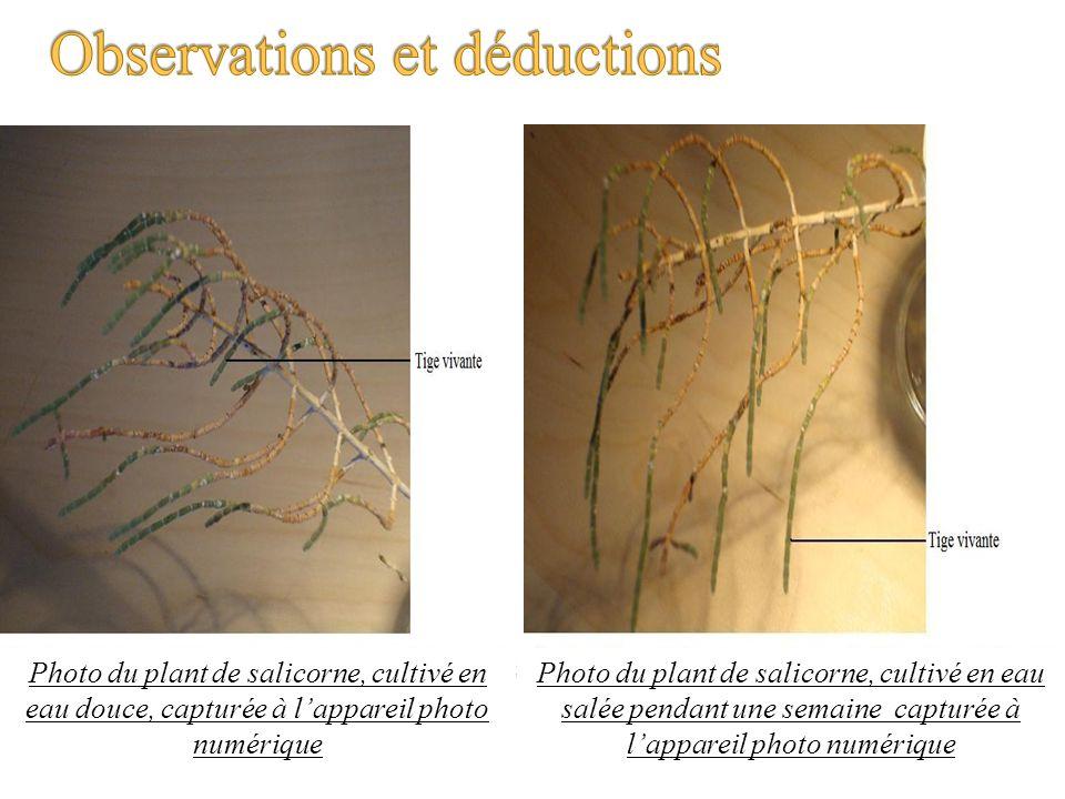 Photo du plant de salicorne, cultivé en eau douce, capturée à lappareil photo numérique Photo du plant de salicorne, cultivé en eau salée pendant une