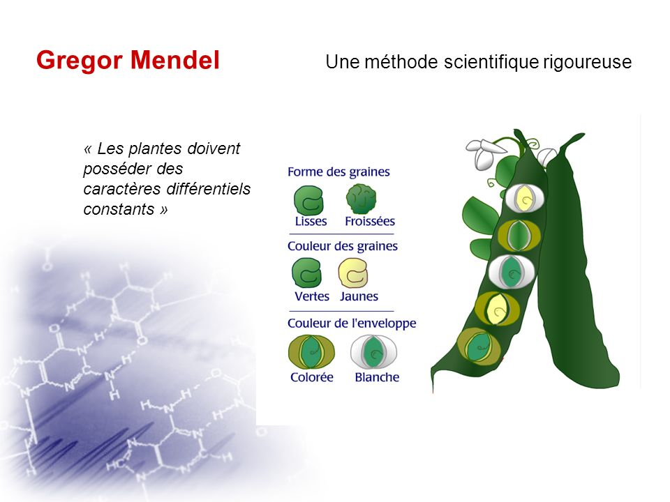 Gregor MendelGregor Mendel Une méthode scientifique rigoureuse « Il faut que pendant la floraison leurs hybrides soient naturellement, ou puissent êtr