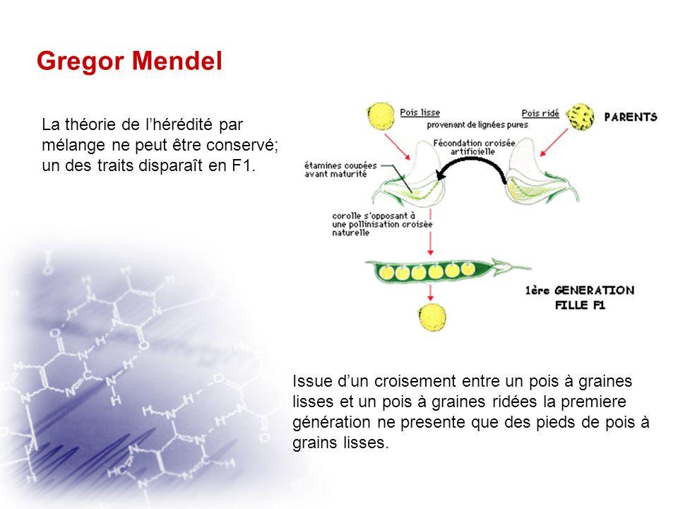 Gregor Mendel Une exploitation statistique des résultats Mendel réalise, entre 1858 et 1863, de très nombreuses hybridations entre pois ayant deux