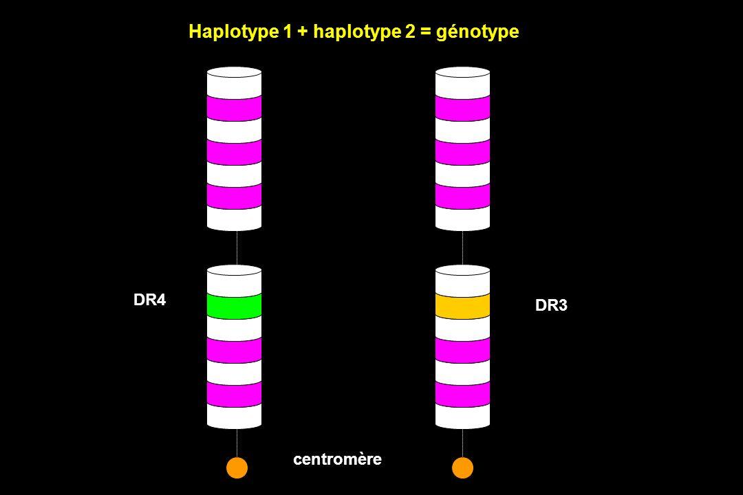 DR3 DR4 Haplotype 1 + haplotype 2 = génotype centromère