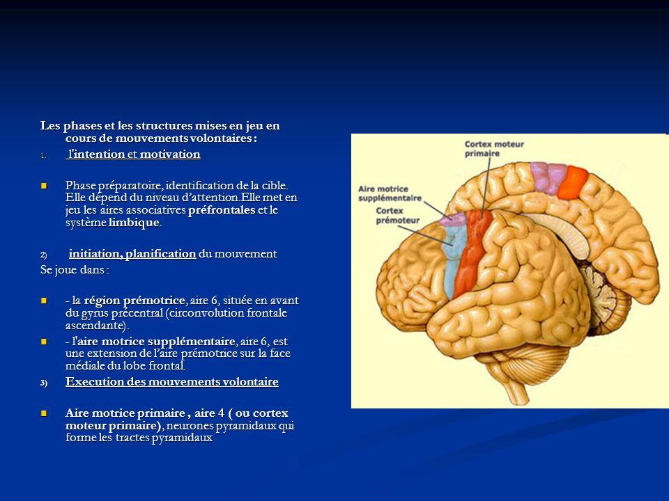La voie motrice principale (voie cortico-spinale Bien individualisée, cohérente, deux neurones.