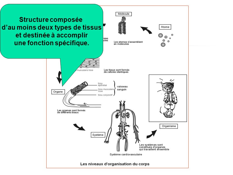 Structure composée dau moins deux types de tissus et destinée à accomplir une fonction spécifique.