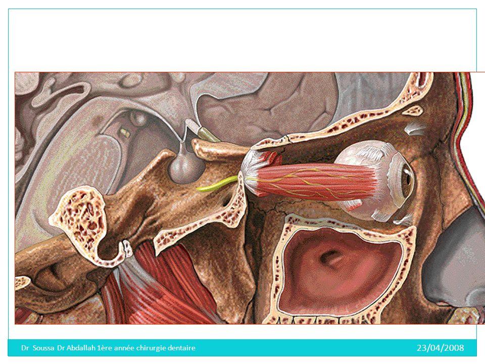 a/-Ladénohypophyse ou lobe antérieur Reçoit des stimulations hormonales de lhypothalamus Elle est responsable de la sécrétion de nombreuses hormones (FSH-LH, TSH, ACTH, GH, MSH) 23/04/2008 Dr Soussa Dr Abdallah 1ère année chirurgie dentaire
