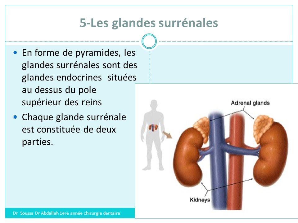 5-Les glandes surrénales Une partie centrale ou medulla : secrétant des hormones appelées catécholamines : *adrénaline et *noradrénaline et *dopamine.