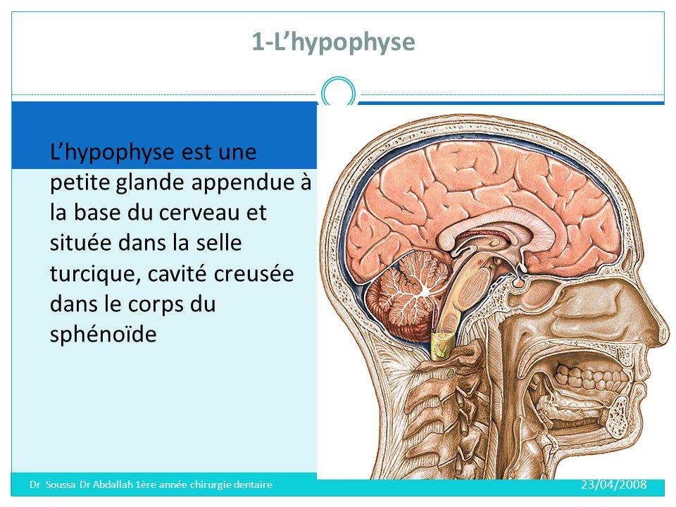 Elle est constituée de deux lobes ; 1-Lobe antérieur: antéhypophyse ou adénohypophyse.