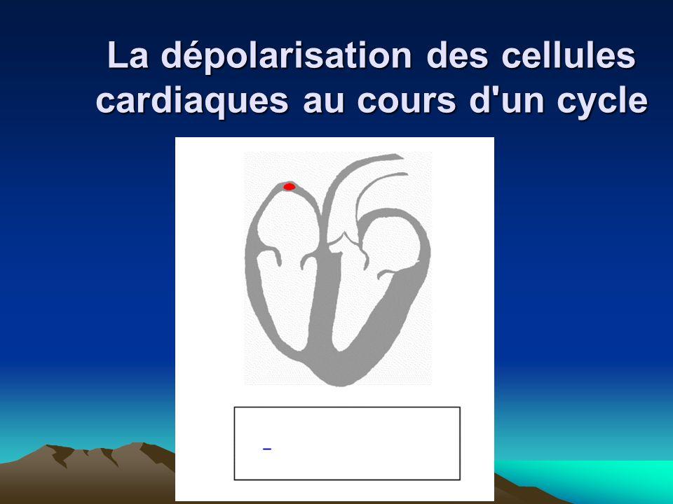 DR BOUKOFFA DR ABDALLAH- APPERIL CARDIO-VASCULAIRE La dépolarisation des cellules cardiaques au cours d'un cycle