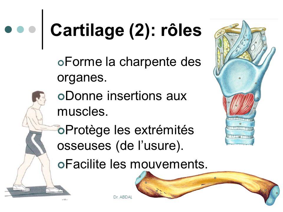20/10/2007Dr. ABDALLAH - Appareil locomoteur 10 Cartilage (2): rôles Forme la charpente des organes. Donne insertions aux muscles. Protège les extrémi