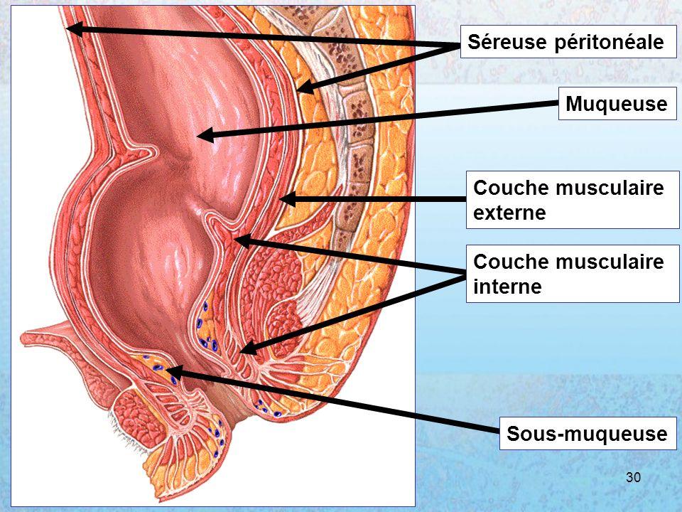 05/01/2008Dr. ABDALLAH - Rectum30 Séreuse péritonéale Muqueuse Couche musculaire externe Couche musculaire interne Sous-muqueuse