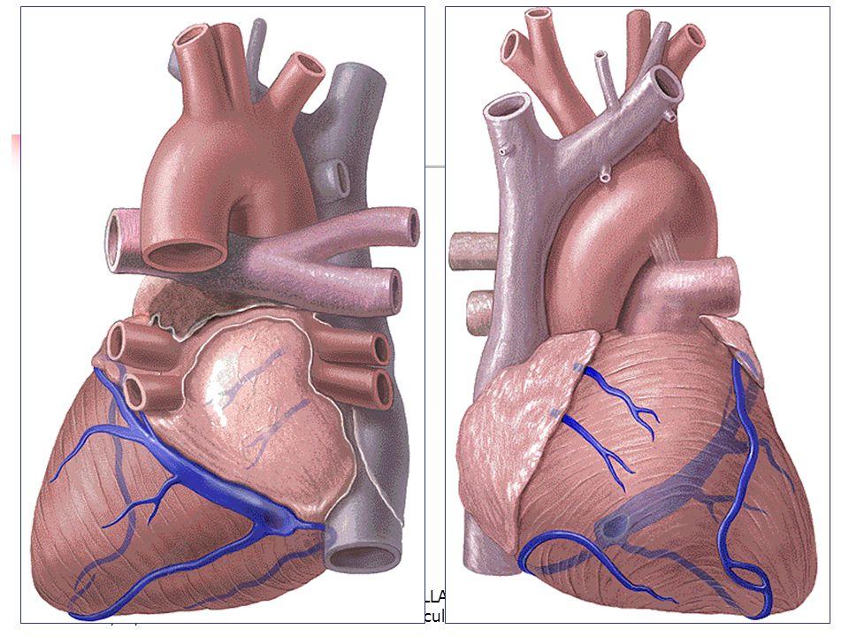 08/01/2008 Dr. ABDALLAH - Appareil circulatoire27
