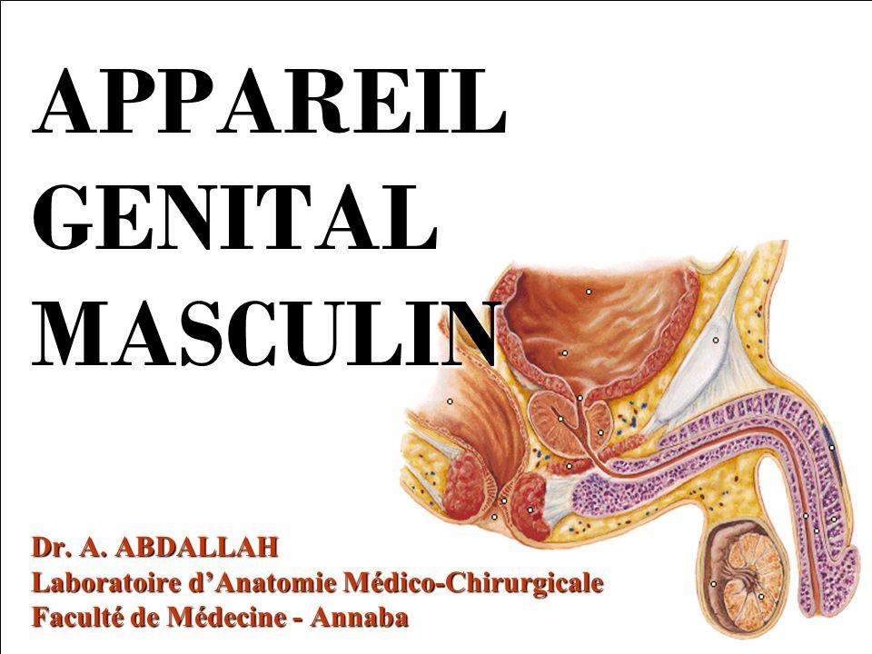 APPAREIL GENITAL MASCULIN Dr. A. ABDALLAH Laboratoire dAnatomie Médico-Chirurgicale Faculté de Médecine - Annaba
