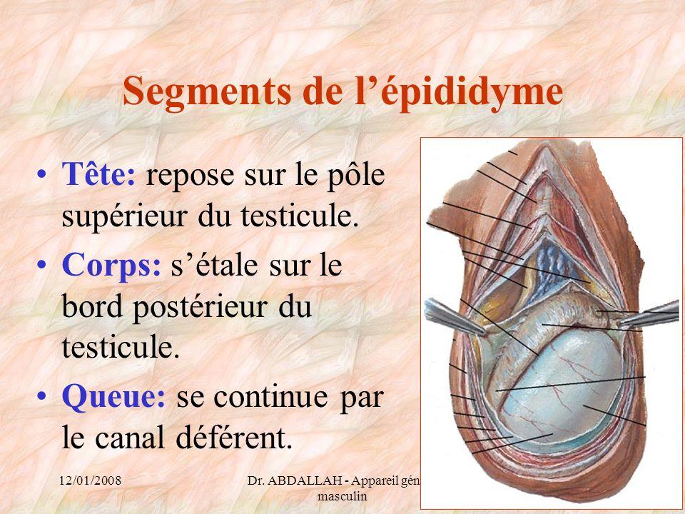 12/01/2008Dr. ABDALLAH - Appareil génital masculin 32 Segments de lépididyme Tête: repose sur le pôle supérieur du testicule. Corps: sétale sur le bor
