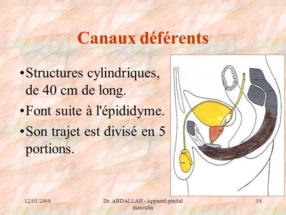 12/01/2008Dr. ABDALLAH - Appareil génital masculin 34 Canaux déférents Structures cylindriques, de 40 cm de long. Font suite à l'épididyme. Son trajet