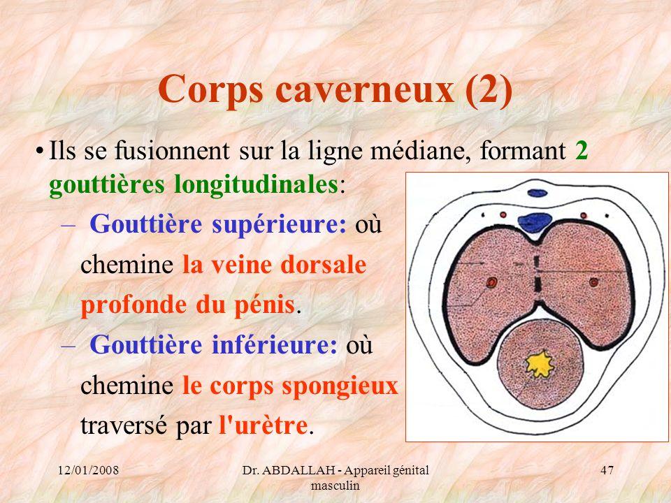 12/01/2008Dr. ABDALLAH - Appareil génital masculin 47 Corps caverneux (2) Ils se fusionnent sur la ligne médiane, formant 2 gouttières longitudinales: