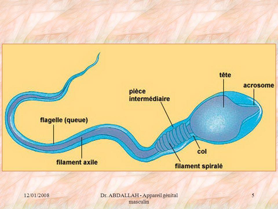 12/01/2008Dr.ABDALLAH - Appareil génital masculin 56 Prostate Glande: –Exocrine.