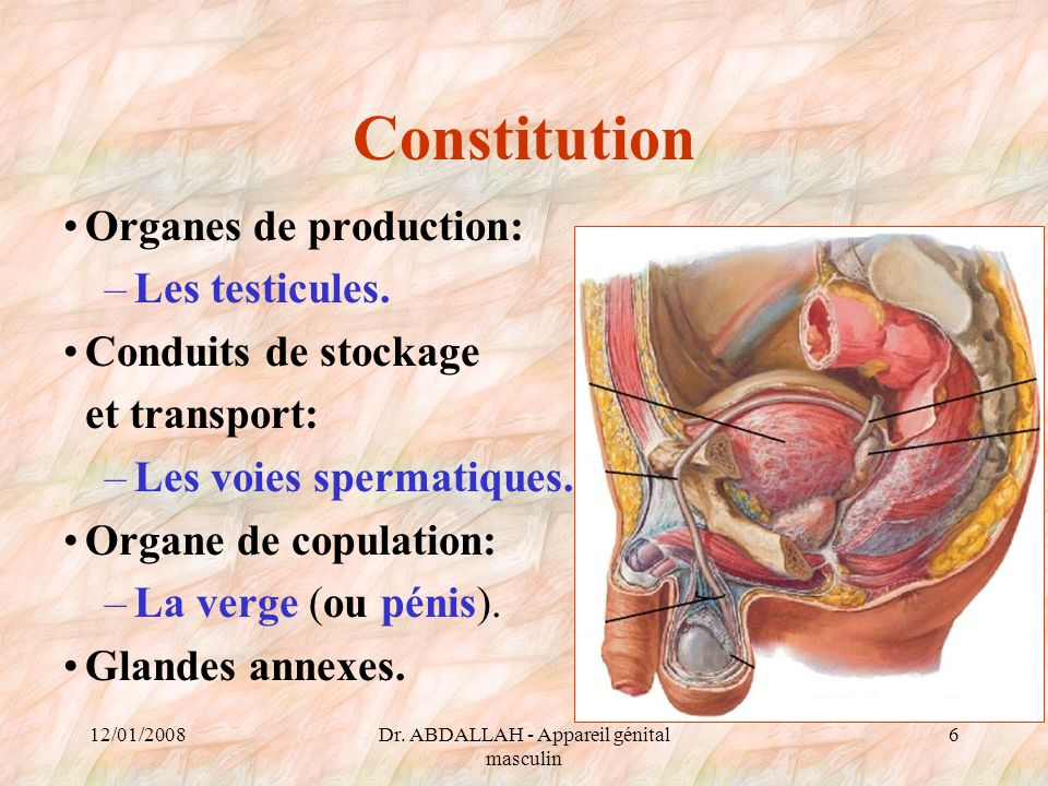 12/01/2008Dr. ABDALLAH - Appareil génital masculin 6 Constitution Organes de production: –Les testicules. Conduits de stockage et transport: –Les voie