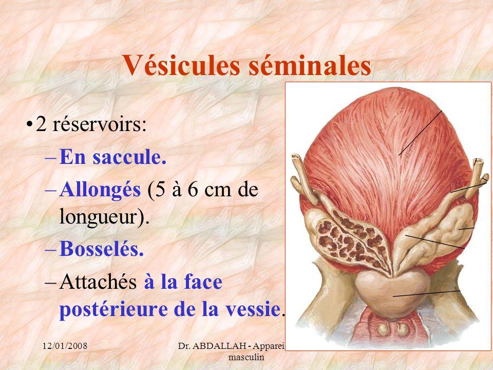 12/01/2008Dr. ABDALLAH - Appareil génital masculin 63 Vésicules séminales 2 réservoirs: –En saccule. –Allongés (5 à 6 cm de longueur). –Bosselés. –Att