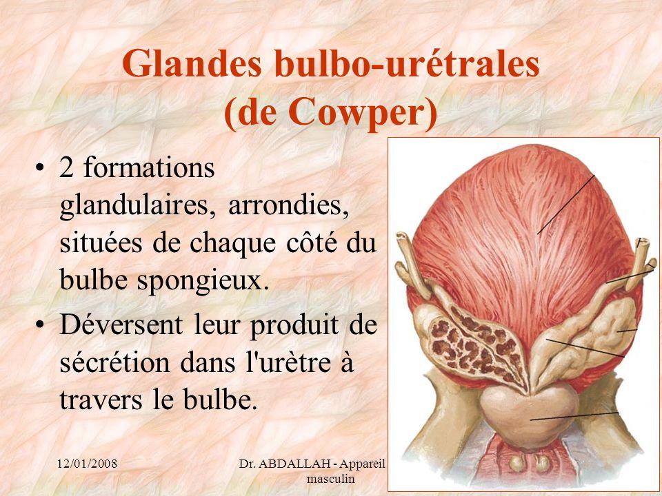 12/01/2008Dr. ABDALLAH - Appareil génital masculin 66 Glandes bulbo-urétrales (de Cowper) 2 formations glandulaires, arrondies, situées de chaque côté