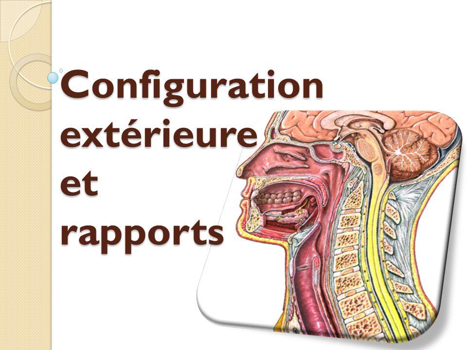 Configuration extérieure Le pharynx présente à décrire: 3 faces: une postérieure et 2 latérales.