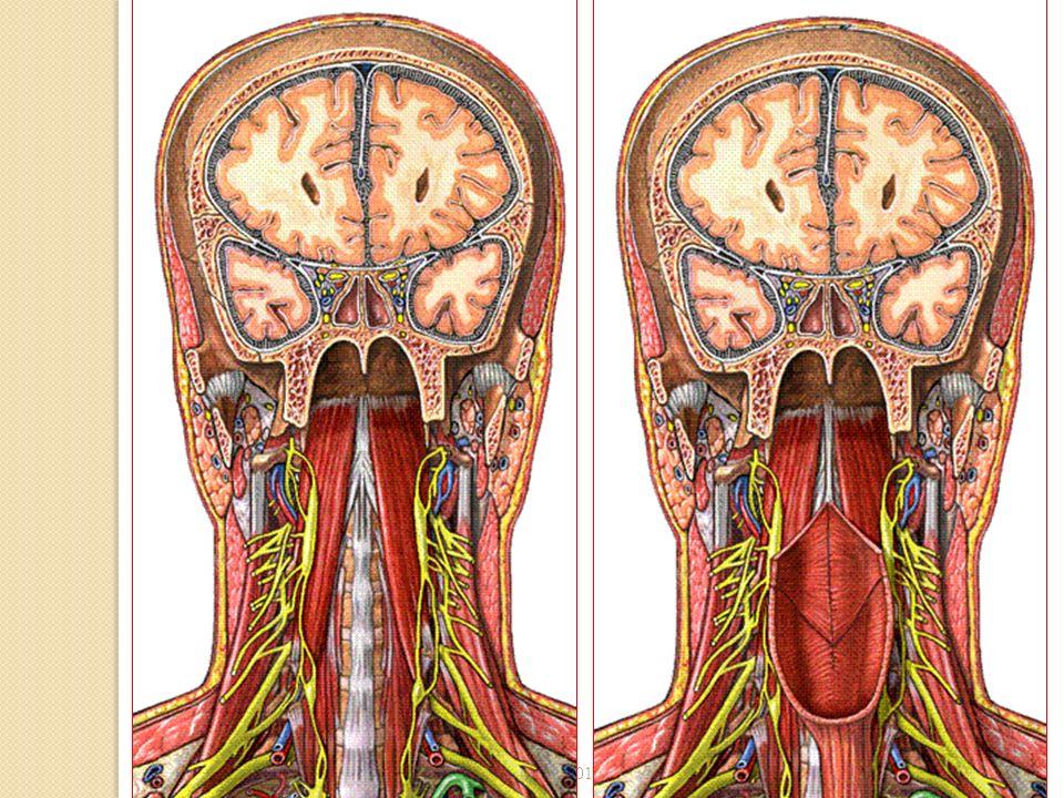 Rapports des faces latérales Artères carotides interne et externe.