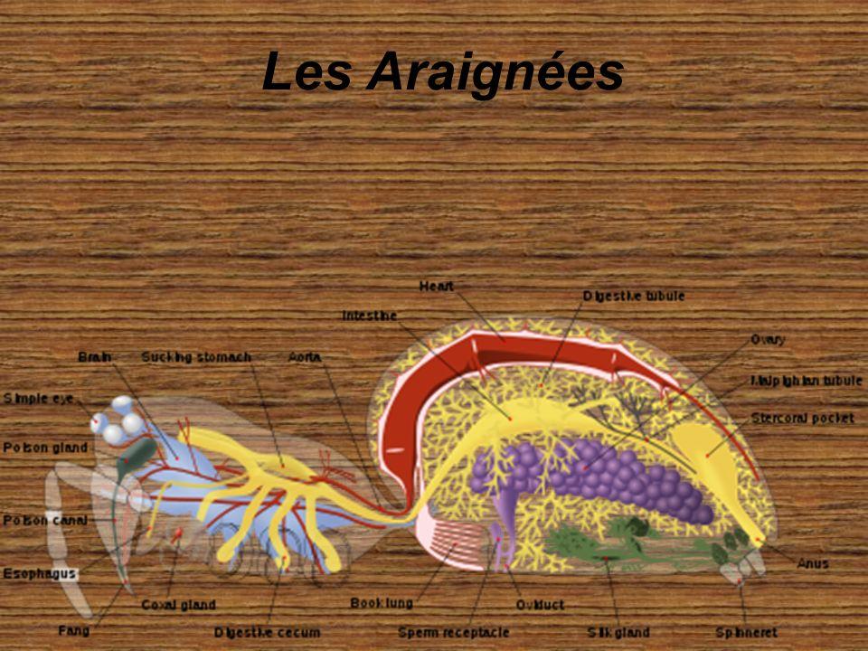 Les araignées ou aranéides (ordre des Araneae) sont des prédateurs invertébrés arthropodes de la classe des arachnides (ce ne sont pas des insectes, mais un groupe plus vaste contenant également scorpions, acariens…).ordreprédateursinvertébrésarthropodesclassearachnidesinsectesscorpionsacariens Elles possèdent toutes huit pattes, pas d ailes ni d antennes, ni de pièces masticatrices dans la bouche.