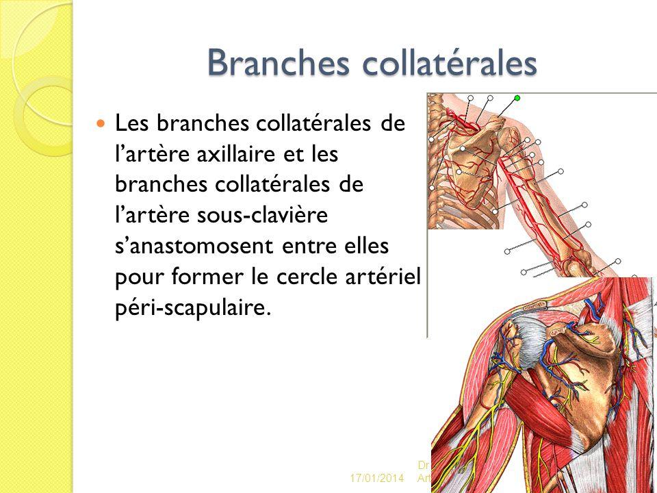 Branches collatérales Les branches collatérales de lartère axillaire et les branches collatérales de lartère sous-clavière sanastomosent entre elles p