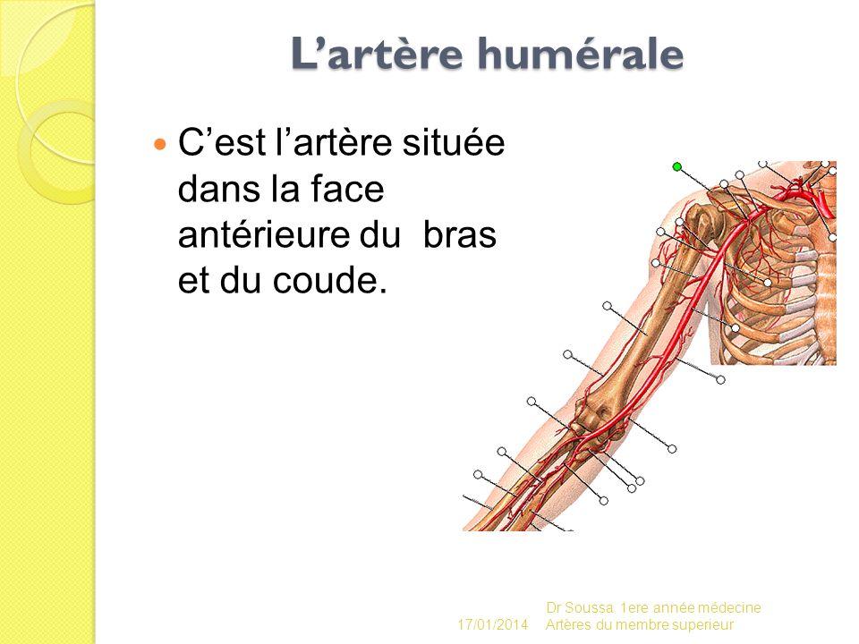Lartère humérale Cest lartère située dans la face antérieure du bras et du coude. 17/01/2014 Dr Soussa 1ere année médecine Artères du membre superieur