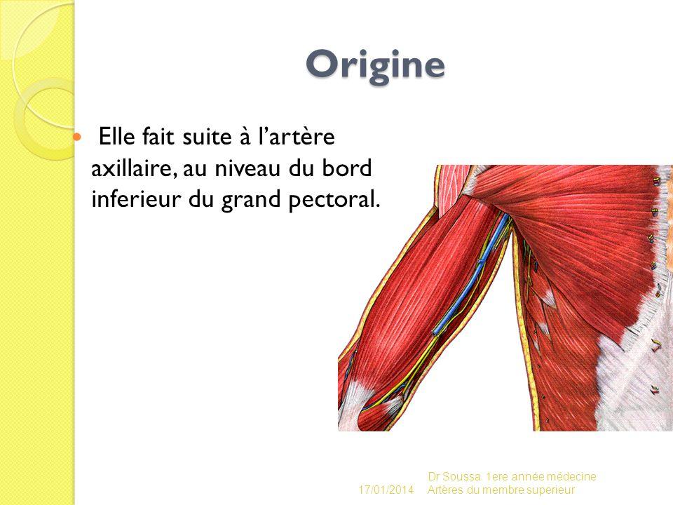 Origine Elle fait suite à lartère axillaire, au niveau du bord inferieur du grand pectoral. 17/01/2014 Dr Soussa 1ere année médecine Artères du membre