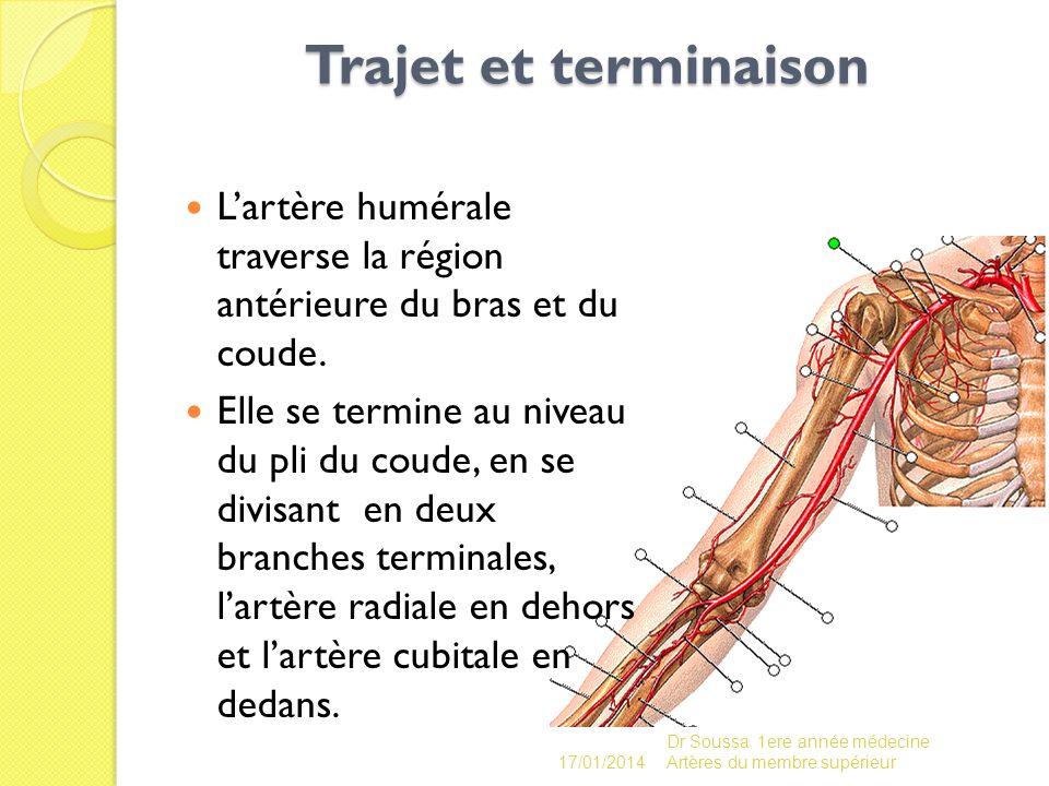 Trajet et terminaison Trajet et terminaison Lartère humérale traverse la région antérieure du bras et du coude. Elle se termine au niveau du pli du co