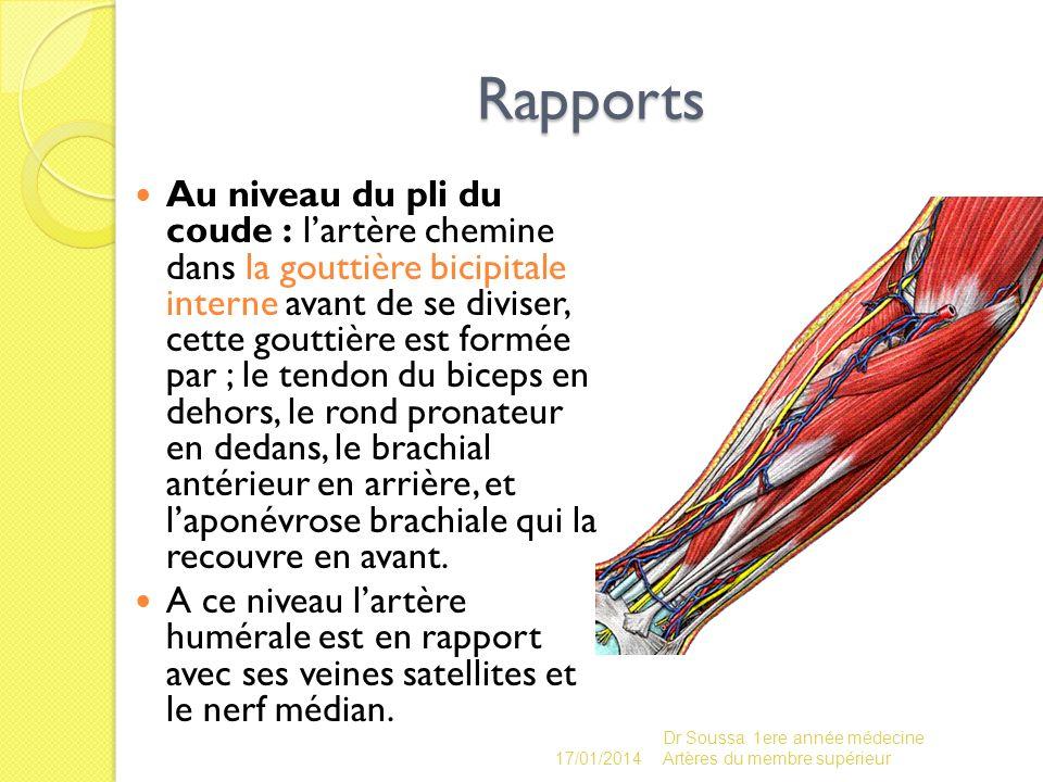 Rapports Au niveau du pli du coude : lartère chemine dans la gouttière bicipitale interne avant de se diviser, cette gouttière est formée par ; le ten