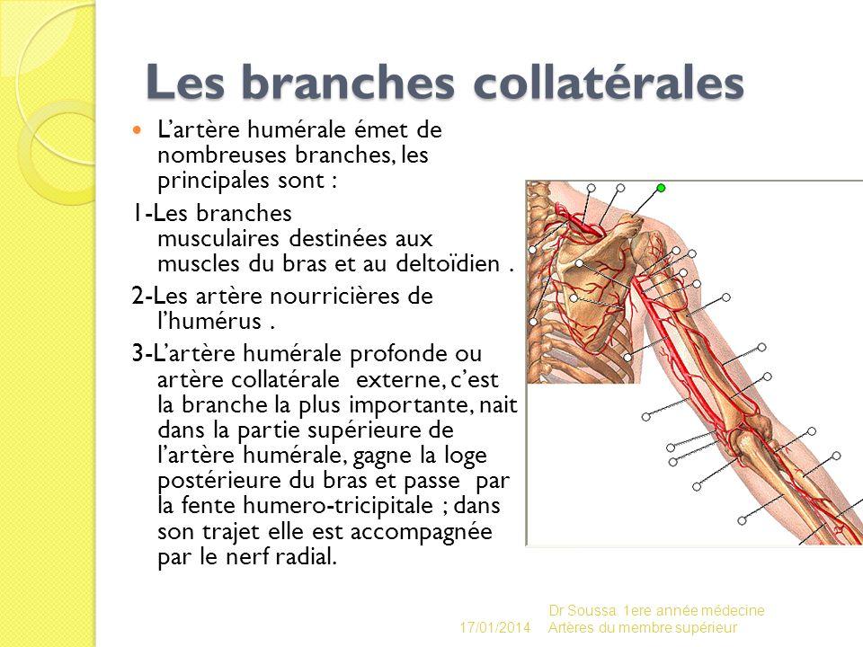 Les branches collatérales Lartère humérale émet de nombreuses branches, les principales sont : 1-Les branches musculaires destinées aux muscles du bra
