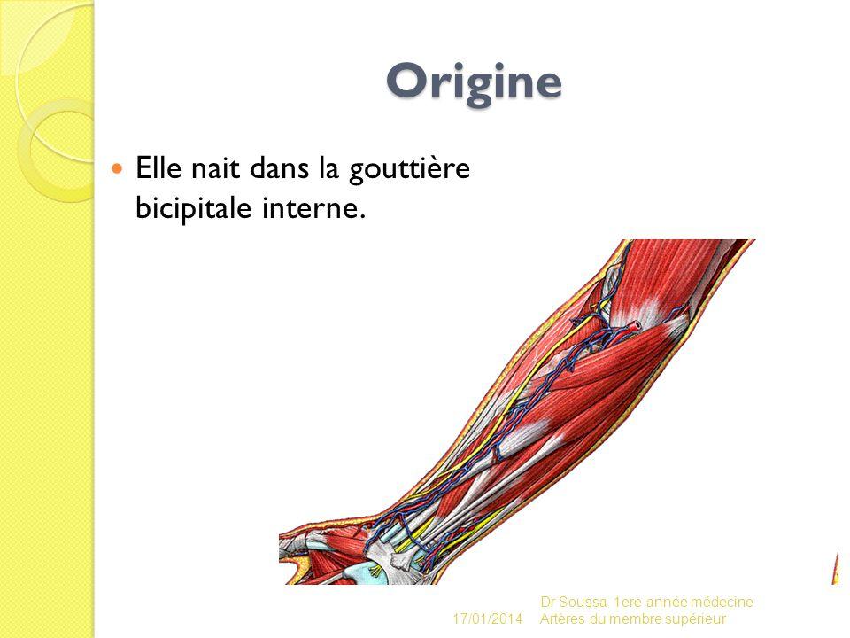 Origine Elle nait dans la gouttière bicipitale interne. 17/01/2014 Dr Soussa 1ere année médecine Artères du membre supérieur
