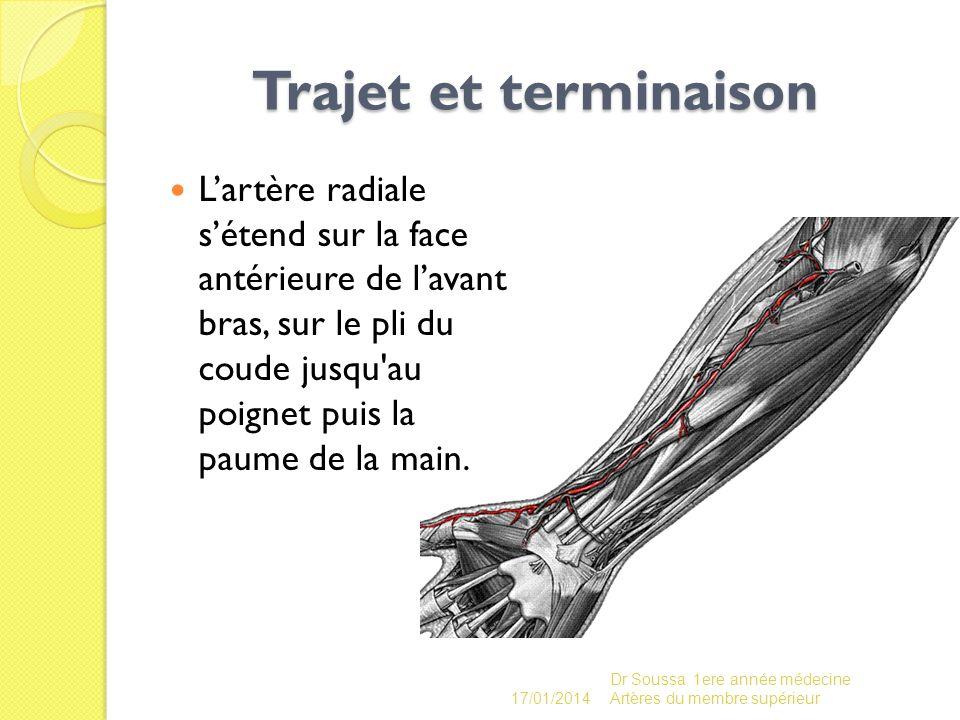 Trajet et terminaison Trajet et terminaison Lartère radiale sétend sur la face antérieure de lavant bras, sur le pli du coude jusqu'au poignet puis la