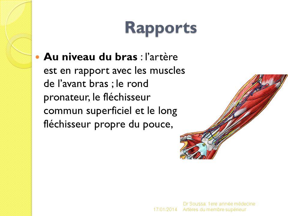 Rapports Au niveau du bras : lartère est en rapport avec les muscles de lavant bras ; le rond pronateur, le fléchisseur commun superficiel et le long