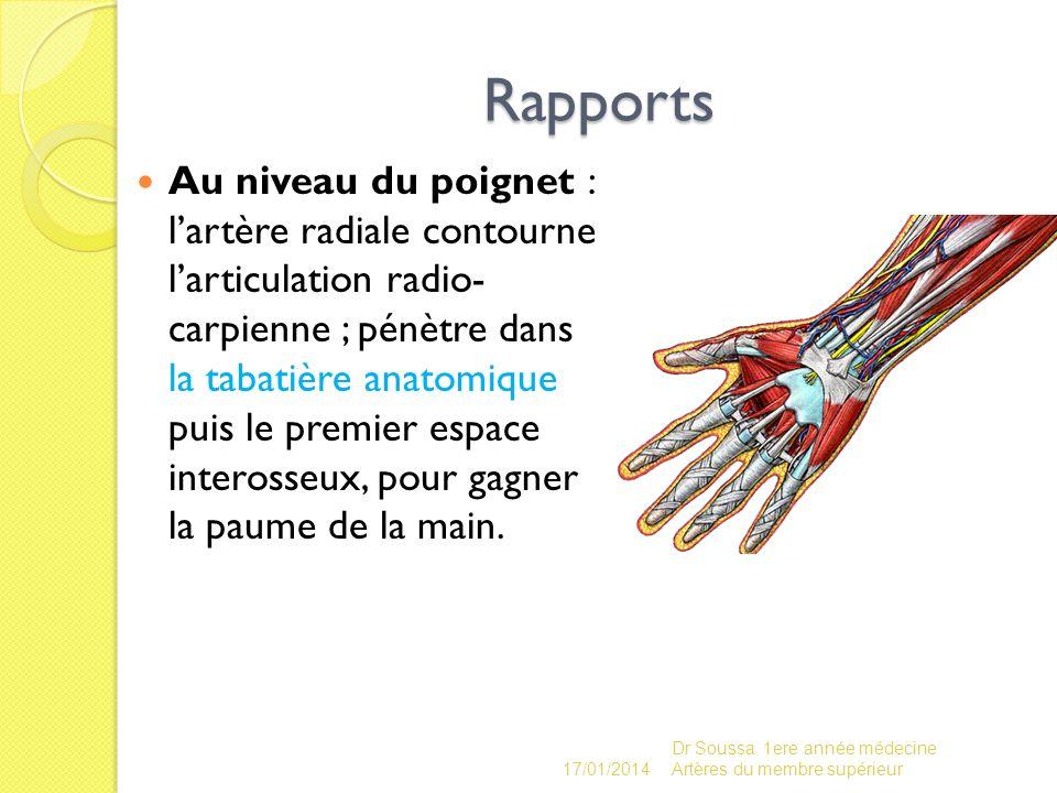 Rapports Au niveau du poignet : lartère radiale contourne larticulation radio- carpienne ; pénètre dans la tabatière anatomique puis le premier espace