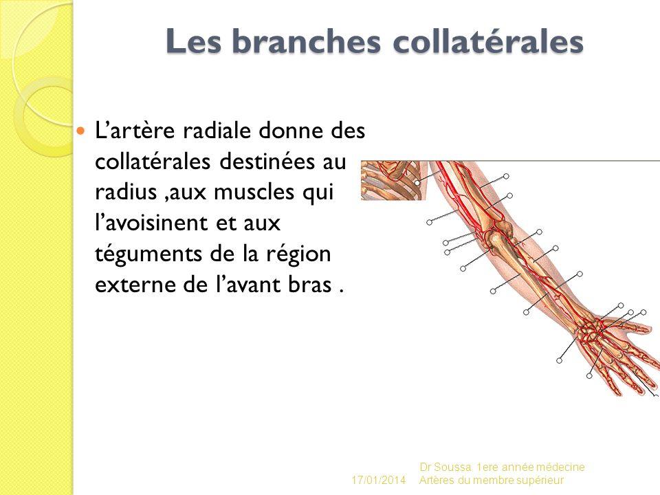 Les branches collatérales Lartère radiale donne des collatérales destinées au radius,aux muscles qui lavoisinent et aux téguments de la région externe