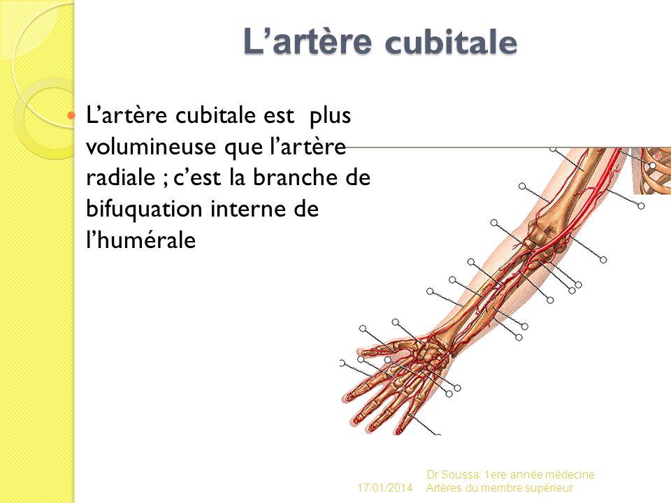 Lartère cubitale Lartère cubitale est plus volumineuse que lartère radiale ; cest la branche de bifuquation interne de lhumérale 17/01/2014 Dr Soussa