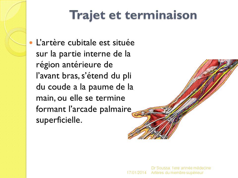 Trajet et terminaison Trajet et terminaison Lartère cubitale est située sur la partie interne de la région antérieure de lavant bras, sétend du pli du