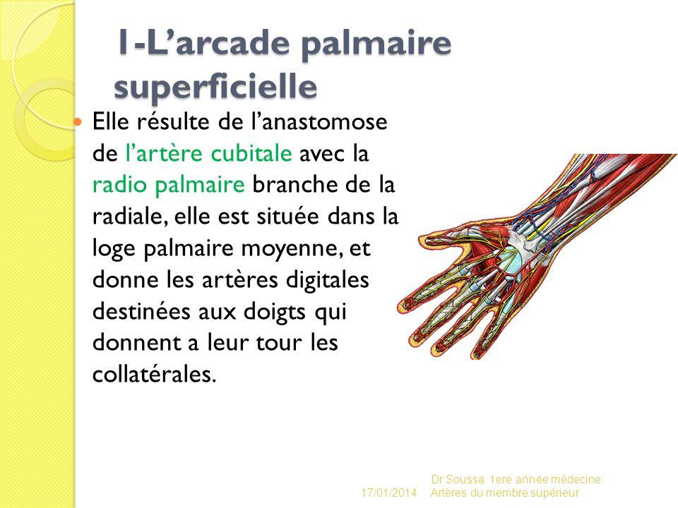 1-Larcade palmaire superficielle 1-Larcade palmaire superficielle Elle résulte de lanastomose de lartère cubitale avec la radio palmaire branche de la