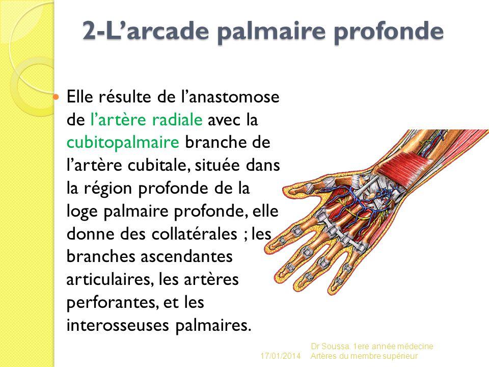 2-Larcade palmaire profonde 2-Larcade palmaire profonde Elle résulte de lanastomose de lartère radiale avec la cubitopalmaire branche de lartère cubit