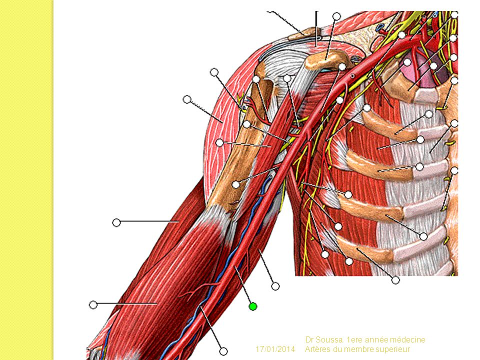 17/01/2014 Dr Soussa 1ere année médecine Artères du membre superieur