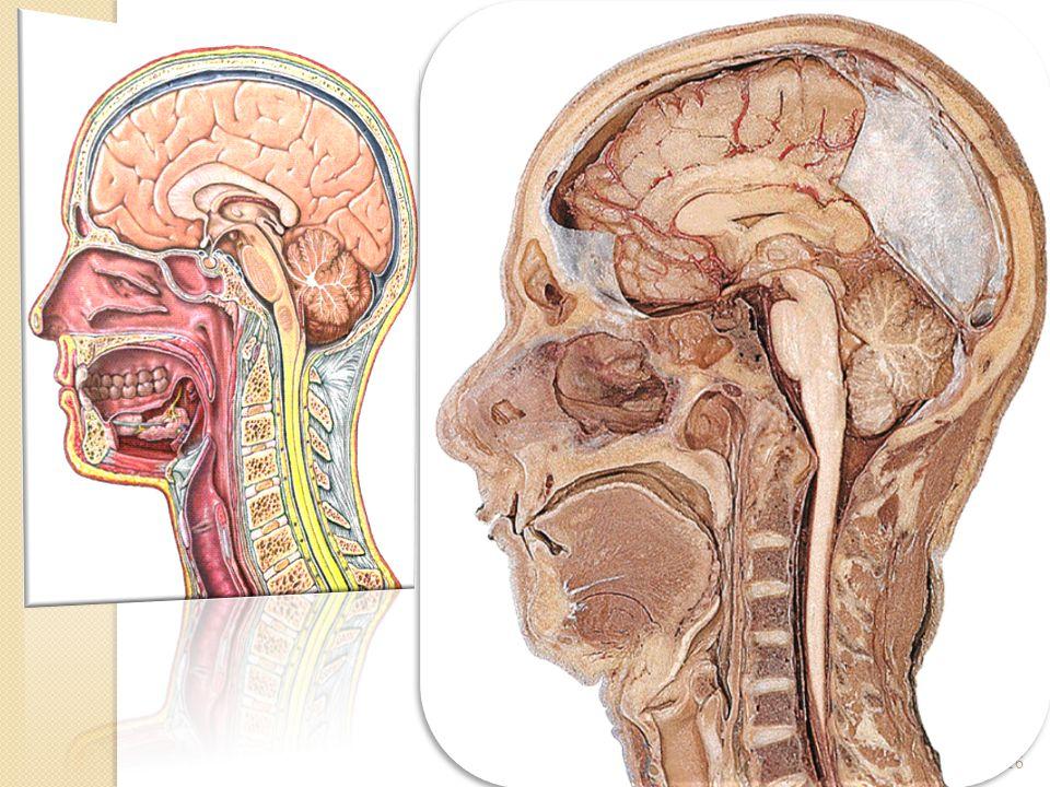 01/04/200816Dr. ABDALLAH- Pharynx