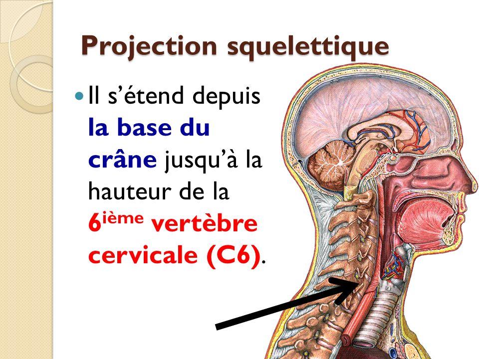 Projection squelettique Il sétend depuis la base du crâne jusquà la hauteur de la 6 ième vertèbre cervicale (C6).